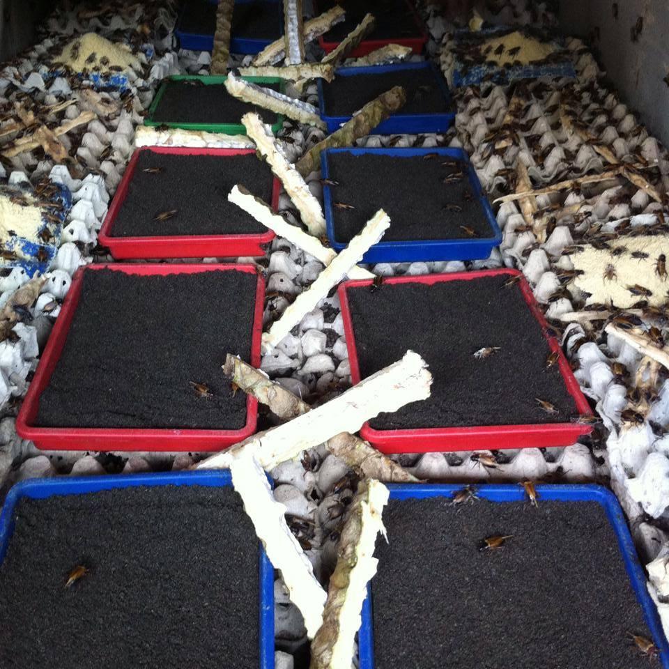 cara ternak ayam organik